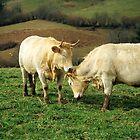 Kissing Cows by Alison Cornford-Matheson