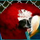 Scarlet Macaw by Virginia N. Fred