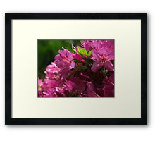 Fuchsia Azalea in Full Glory Framed Print
