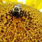 sunflower bumblebee by megrag53