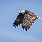 American Bald Eagle 2015-15 by Thomas Young