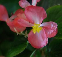 Begonia Macro by Jan Richardson