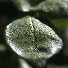 Morning Dew Rose Leaf by Joy Watson
