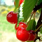 Wild Cherries by Dick Pountain