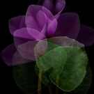 Shy Cyclamen Transparency by Marsha Tudor