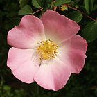 Wild Rose by Dick Pountain