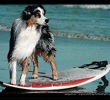 Australian Shepherd Jun by Andrea Trotter