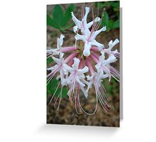 Swamp Azalea (Rhododendron viscosum) Greeting Card