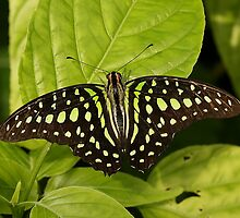 Tailed Jay Butterfly by Robert Abraham
