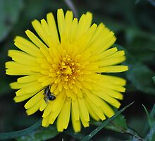 Dandelion Dreams by Freese