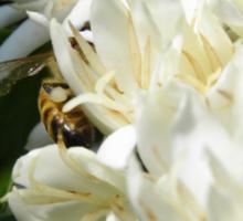 Portfolio: Honeybee worker foraging on Hawaiian Kona coffee bloom #3 , Big Island, Hawaii Sticker