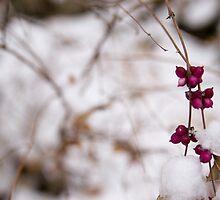 Pink Winter Berries on Snow by heartlandphoto