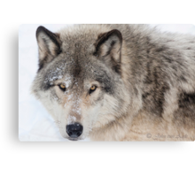 ...hypnotic wolf eyes... Canvas Print