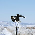 Bald Eagle on sign - 8219 by BartElder