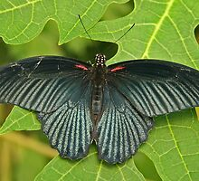 Great Mormon Butterfly by Robert Abraham