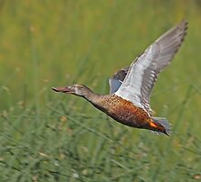 Northern Shoveler by tomryan