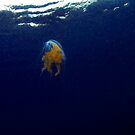 Egg Yolk Jelly Fish by Greg Amptman