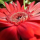 *Gorgeous Red Gerbera* by EdsMum