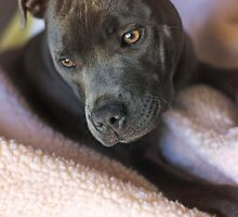 Pure Blue Staffy by DimondImages