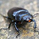 Stag beetle by newbeltane