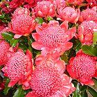 Australian Red Waratah by Carol Smith