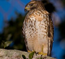 Red-Shouldered Hawk by Denis Wagovich