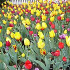 Red and Yellow Tulips in Spring by Carol Smith
