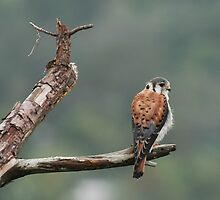 American Kestrel by claudefletcher