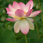 Pink Lotus Flower by Bev Pascoe