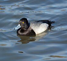 Lesser Scaup by Lena127