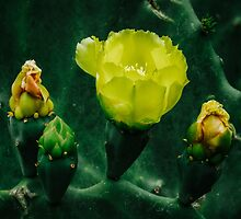 Yellow prickly pear flowers are blooming by Chee Sim