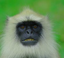 Langur Monkey by camel10