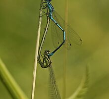 Azure Damselfly by Robert Abraham