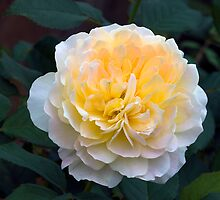 David Austin English Shrub Rose 'Molineux' by Dency Kane