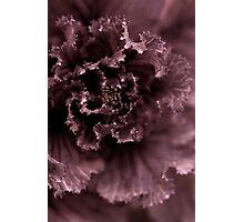Ornamental Cabbage #2 Photographic Print