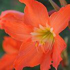Orange lily by claudefletcher