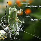 Argiope Australis (spider) eating Acanthacris Ruficornis (grasshopper) - Free State, South Africa by Qnita