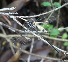Damselfly, Lansdowne River by louisegreen