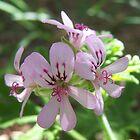 Geranium Purple by heyitsmefi