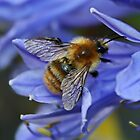 Bee on Agapanthus by AnnDixon