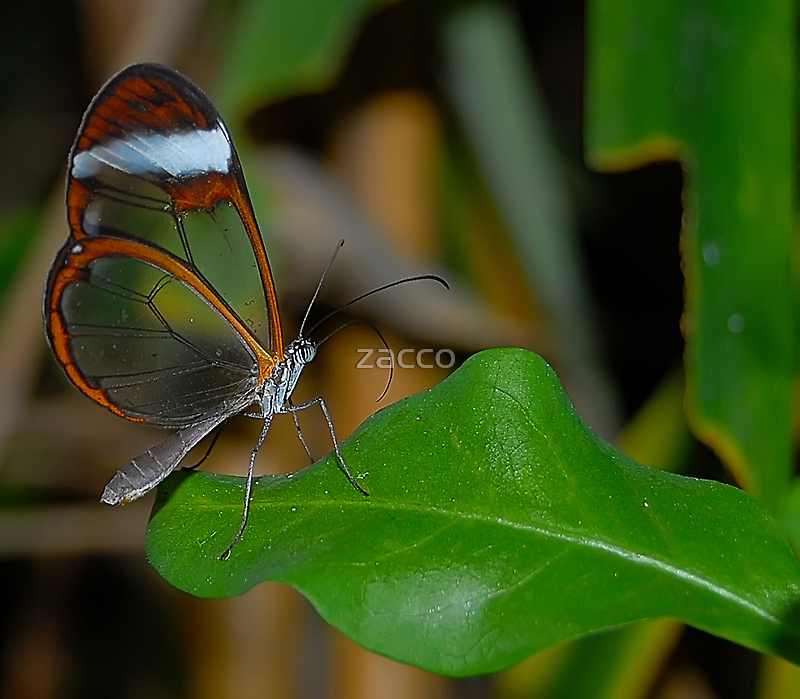glasswing butterfly  by zacco