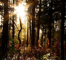 Sun shining through the pines at Whinfell by Lee West