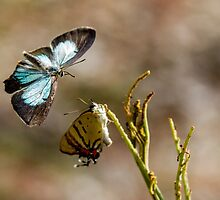 Common Imperial Blue by pcbermagui