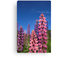 Colourful Lupins Canvas Print