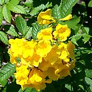 Yellow Bells by Glenna Walker