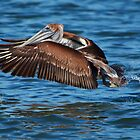 San Francisco Bay Brown Pelican by Paul J. Owen