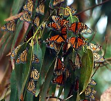 Migrating Monarchs by Barbara  Brown