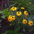 Black Eyed Susans by grannyjune