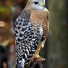 Red-Shouldered Hawk by Rebecca Cruz