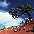 White Oak on Phillip Island by gondwana